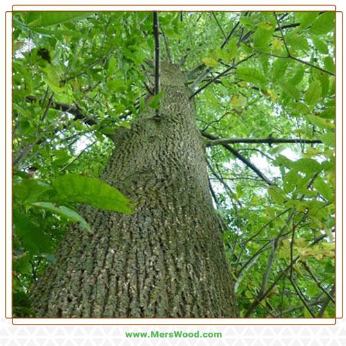 چوب درخت زبان گنجشک