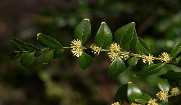 معرفی درخت شمشاد جنگلی