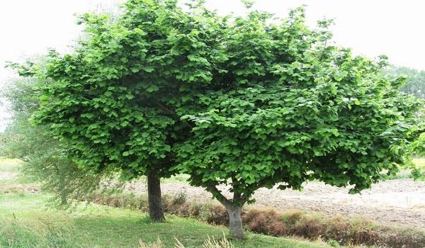 معرفی درخت و چوب فندق