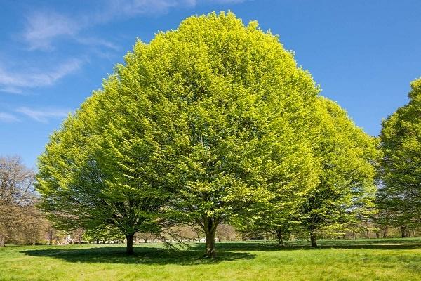 معرفی درخت مَمرَز