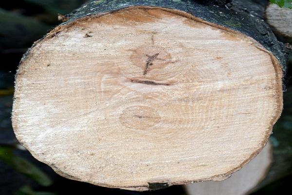 معرفی چوب درخت ممرز