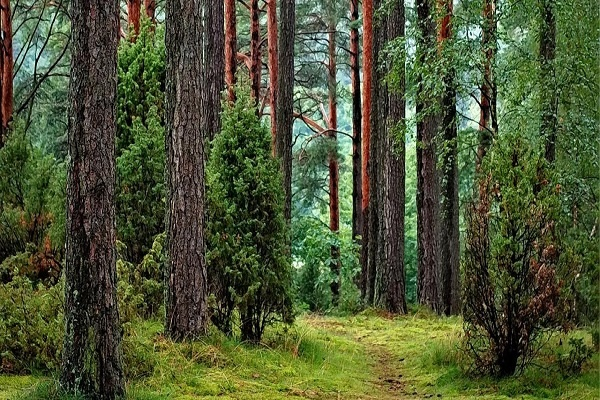 جنگل و زراعت چوب در ترکیه