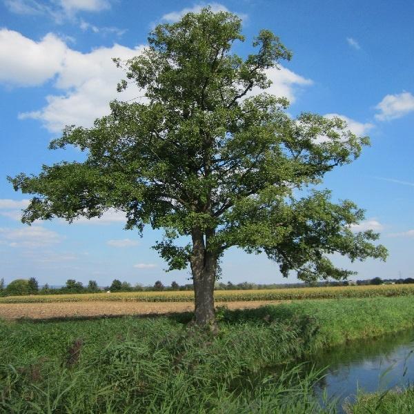 معرفی درخت توسکا