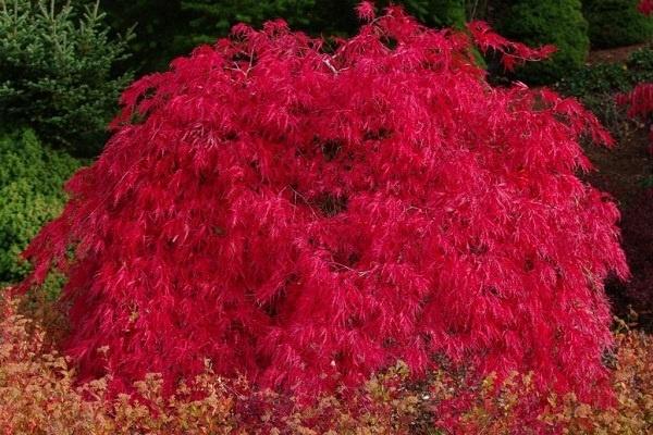معرفی درخت افرای قرمز