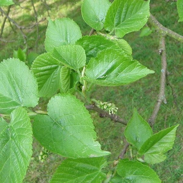درخت توت در مناطق گرمسیری همیشه سبز است و در مناطق سرد خزان کننده میباشد. از برگ درختان توت برای تغذیه کرم ابریشم و علوفه دام نیز بهره برداری میگردد.