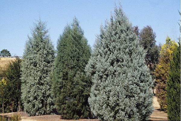 معرفی درخت و چوب سرو