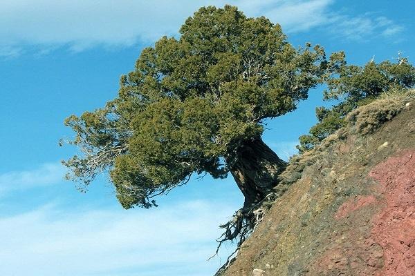 معرفی درخت اردوج ( سرو کوهی)