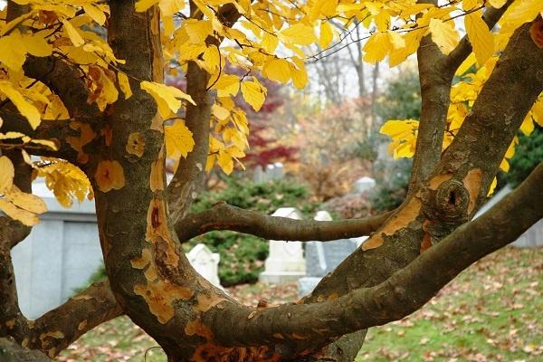 معرفی چوب درخت انجیلی