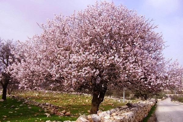 معرفی درخت بادام