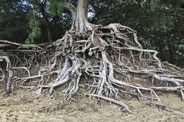 معرفی درخت اکالیپتوس
