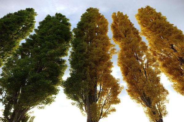 معرفی درخت شالک