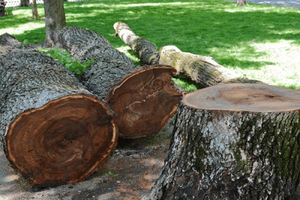 معرفی چوب درخت ملچ