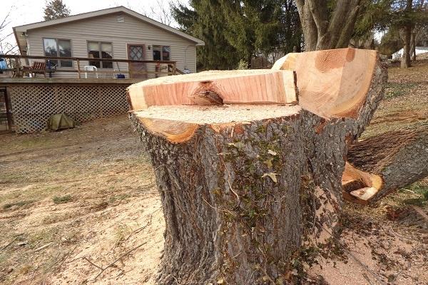 معرفی چوب درخت توت