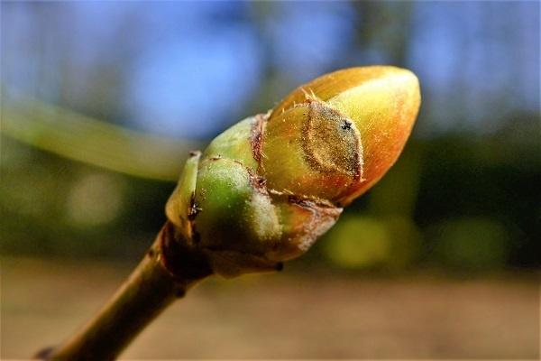 معرفی درخت افرای شیردار