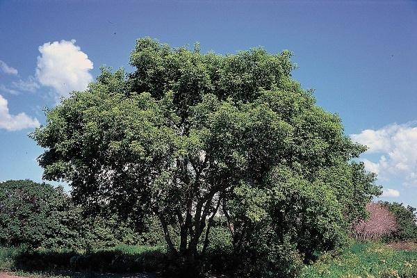 معرفی درخت افرای سیاه