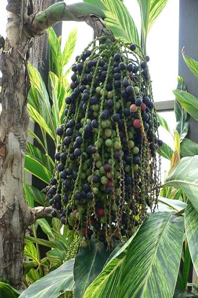 معرفی درخت کاریوتا