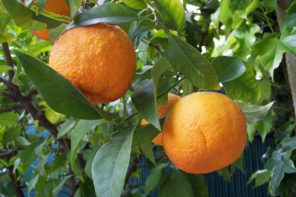 معرفی درخت نارنج