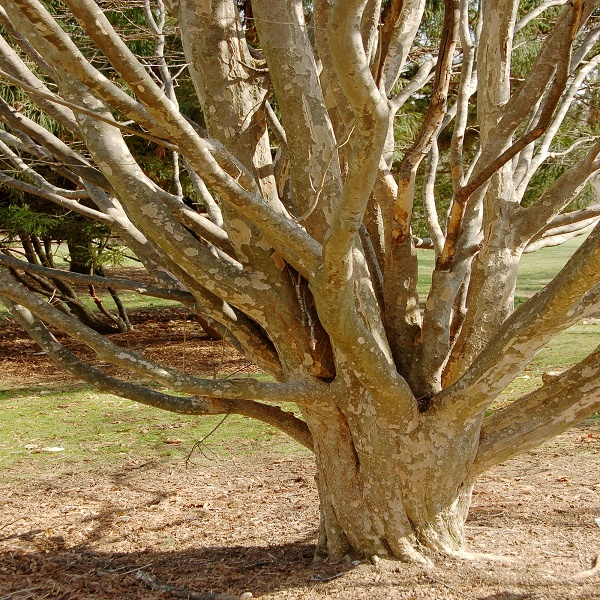معرفی درخت انجیلی
