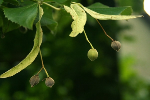 معرفی درخت و چوب نمدار