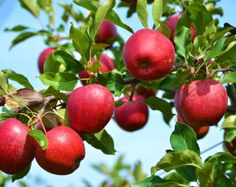 معرفی درخت سیب