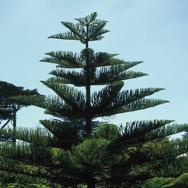معرفی درخت آروکاریا (کاج مطبق)
