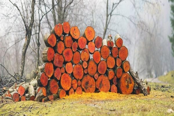 معرفی چوب درخت توسکا