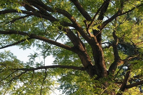 معرفی درخت اقاقیا