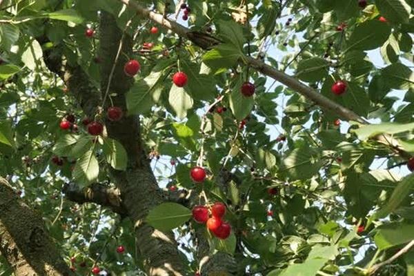 معرفی درخت آلبالو