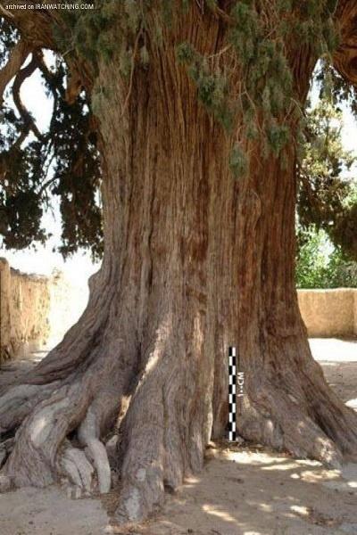درخت سرو طبری و درخت سرو زربین