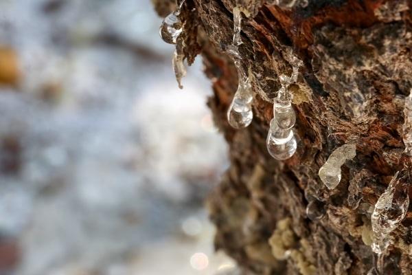 معرفی درخت و چوب بنه