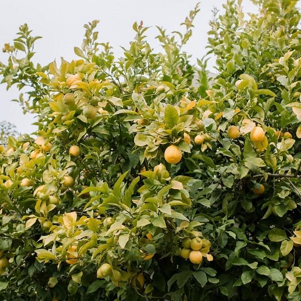 معرفی درخت لیمو ترش