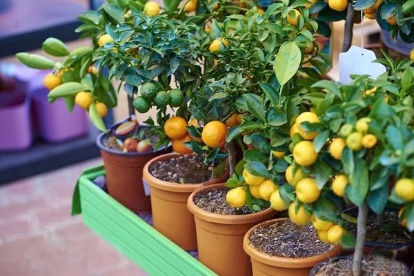 معرفی  درخت لیمو شیرین