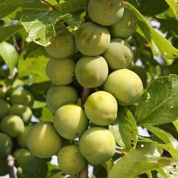 معرفی درخت گوجه سبز