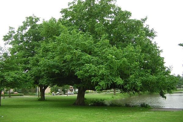 معرفی درخت لرگ