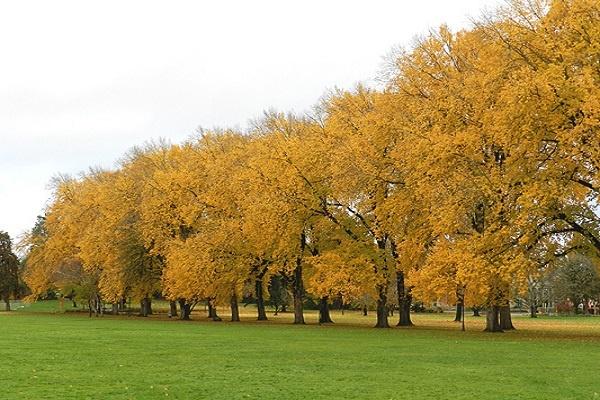 معرفی درخت مَلَچ