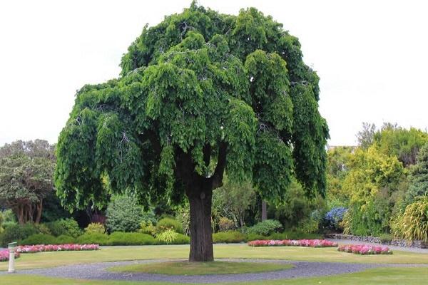 معرفی درخت نارون