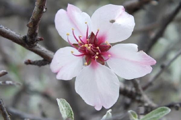 معرفی درخت بخورک (بادام کوهی)