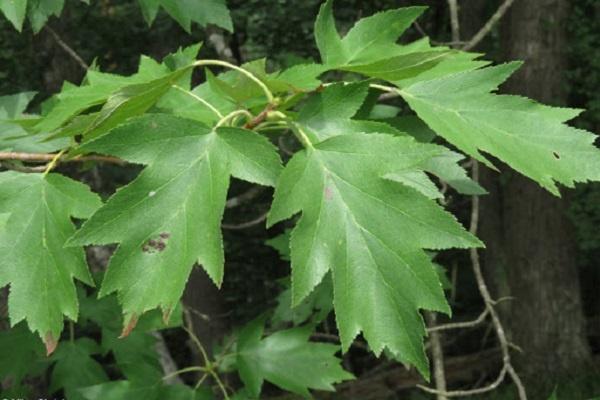 معرفی درخت بارانک