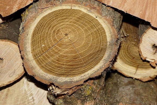 معرفی چوب درخت اقاقیا