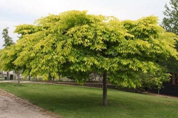 معرفی درخت و چوب آزاد
